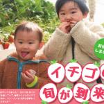 イチゴの季節到来(広報かしわ 平成29年2月15日号)