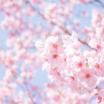 桜が呼んでいる。広報紙で見つけた桜マップ8選
